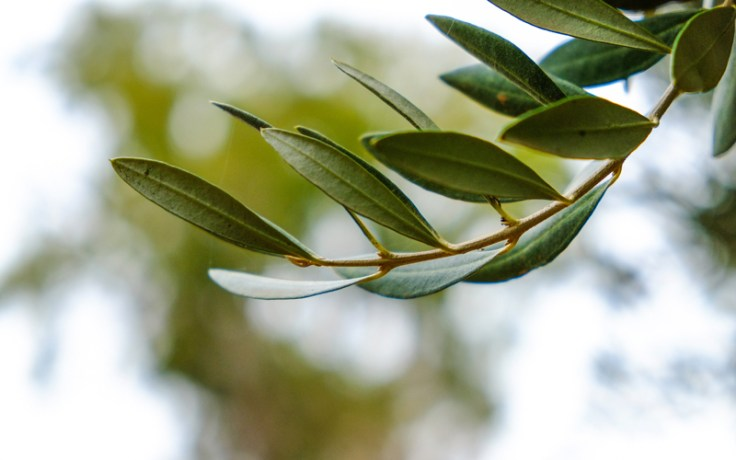 an olive branch, the origin of the name olivia