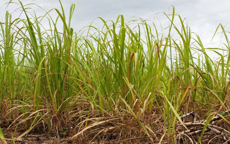 sugar cane, one of the crops farmed by african farmers
