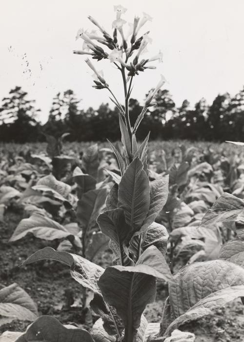 a tobacco plant.