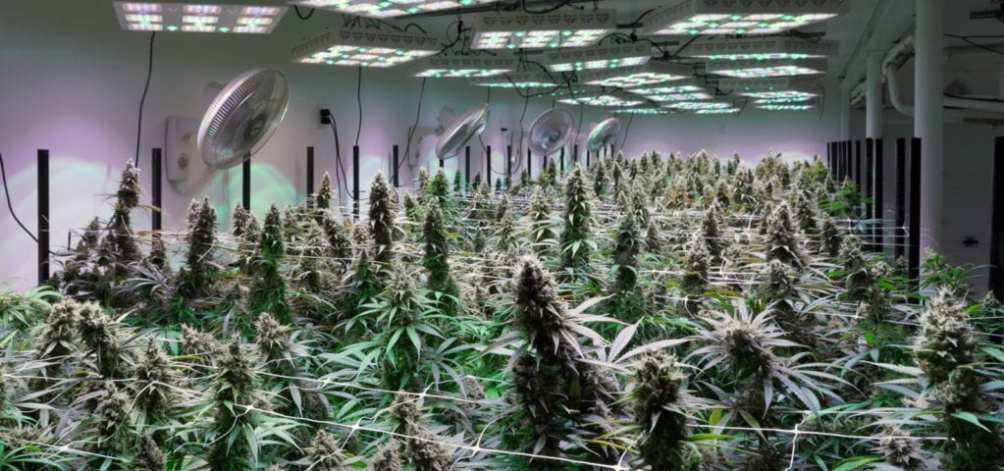 A large, indoor cannabis grow operation.