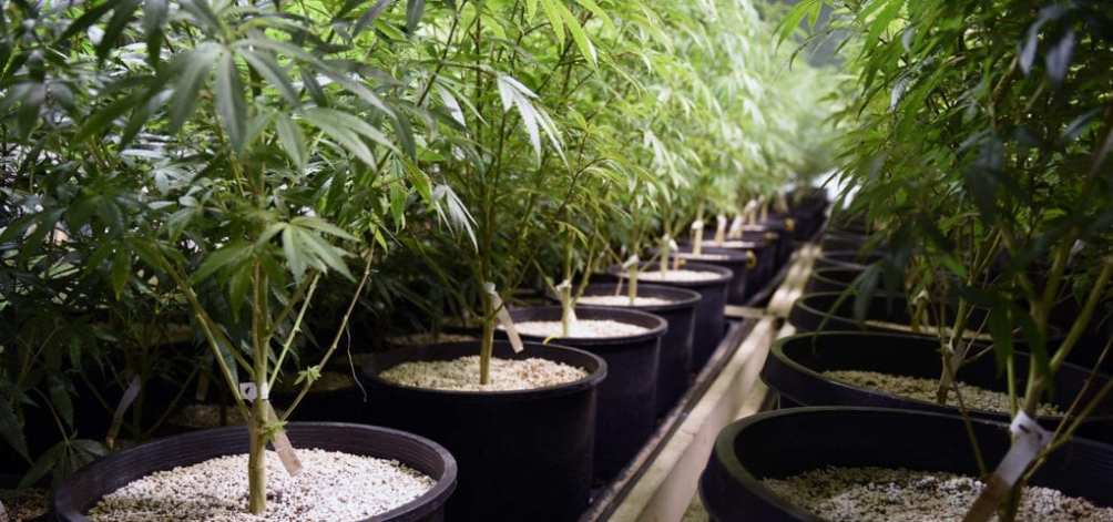 Lines of commercial-grade cannabis plants in pots inside of an indoor grow site.