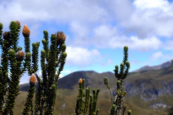 Rucu Pichincha - Flora