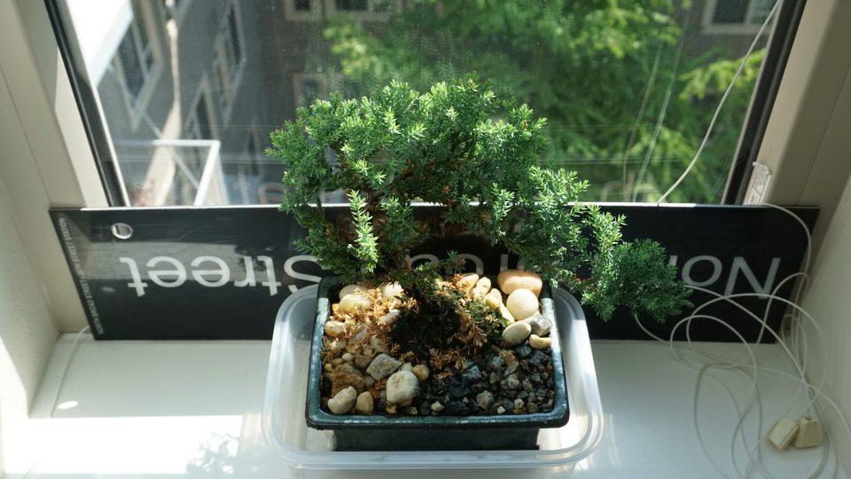 Photo of a top-down view of a juniper bonsai in a bay window.