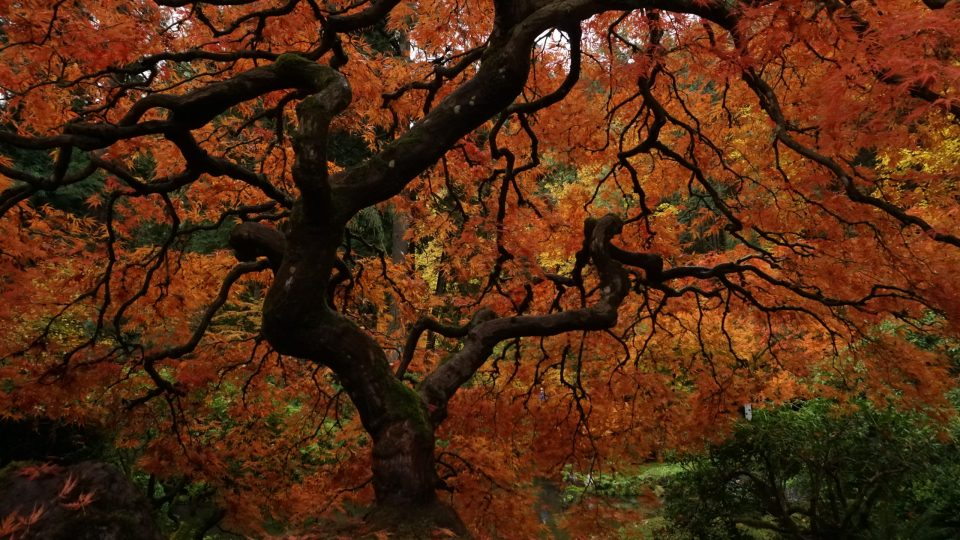 Photo of the most photographed Japanese Maple in North America at Portland Japanese Garden.