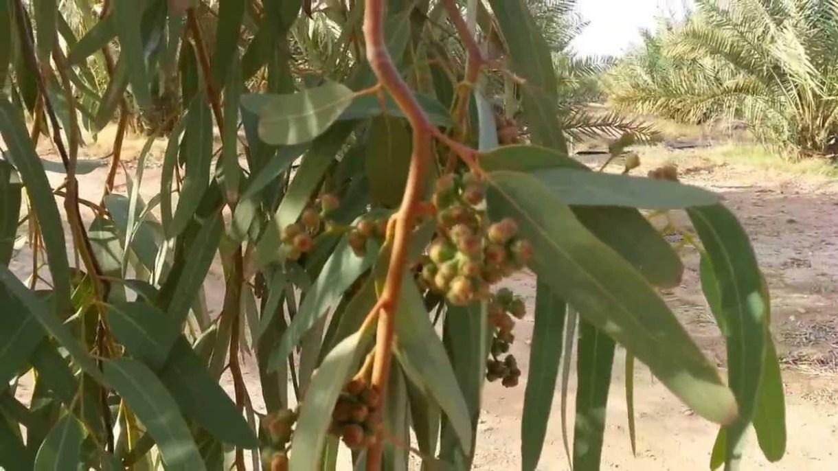 la salud ayurvédica del eucalipto