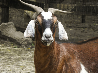Earth 'n' Us Nubian Goat
