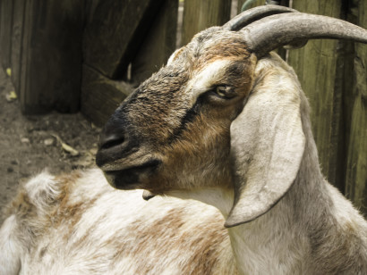 Earth 'n' Us Boer Goat