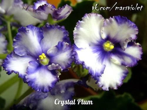 Фиалки на подоконнике | Crystal Plum (F. Tinari).
