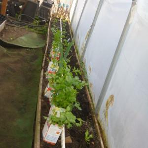 P1010039 celery etc