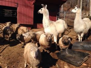 A happy bunch at Pam Blasko's Dream Come True Farm