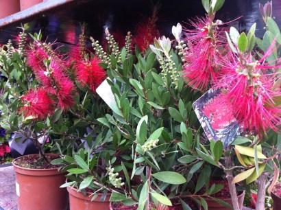 Bottlebrush plants