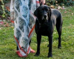 Pañuelo foto perro labrador 2