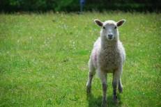 Lamb ©photo by t. stockton