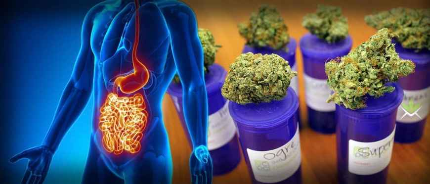 Cannabis Is Curing Stomach And Bowel Diseases Considered Incurable By Modern Medicine