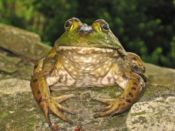Dr. Bullfrog