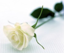 white-rose-wallpapers_5642_1600x1200