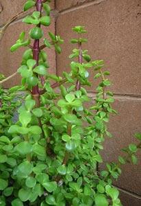 Feng shui jardin como atraer la suerte del dinero con for Planta del dinero feng shui