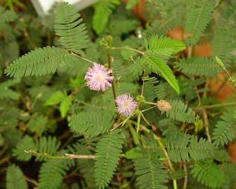 Sensitiva, Mimosa sensitiva, Vergonzosa, Planta de la vergüenza, Mimosa púdica, Dormilona