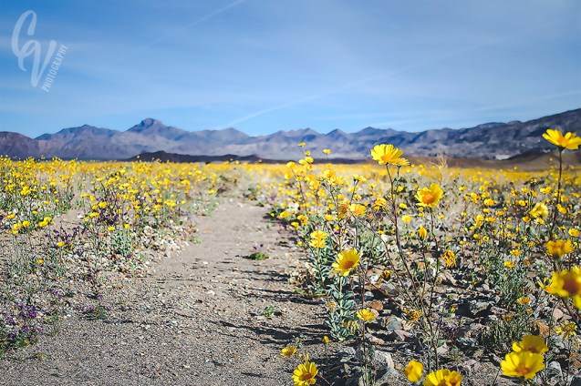 death valley: superbloom // 2016