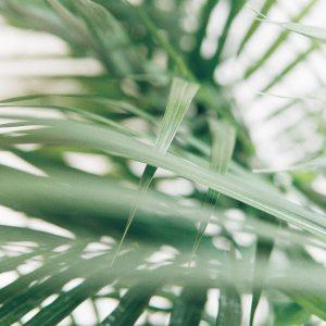 Photo of Kentia Palm