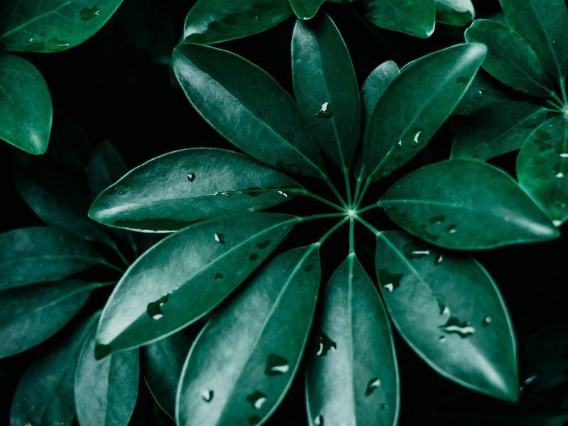 How to propagate a Schefflera / Umbrella Plant