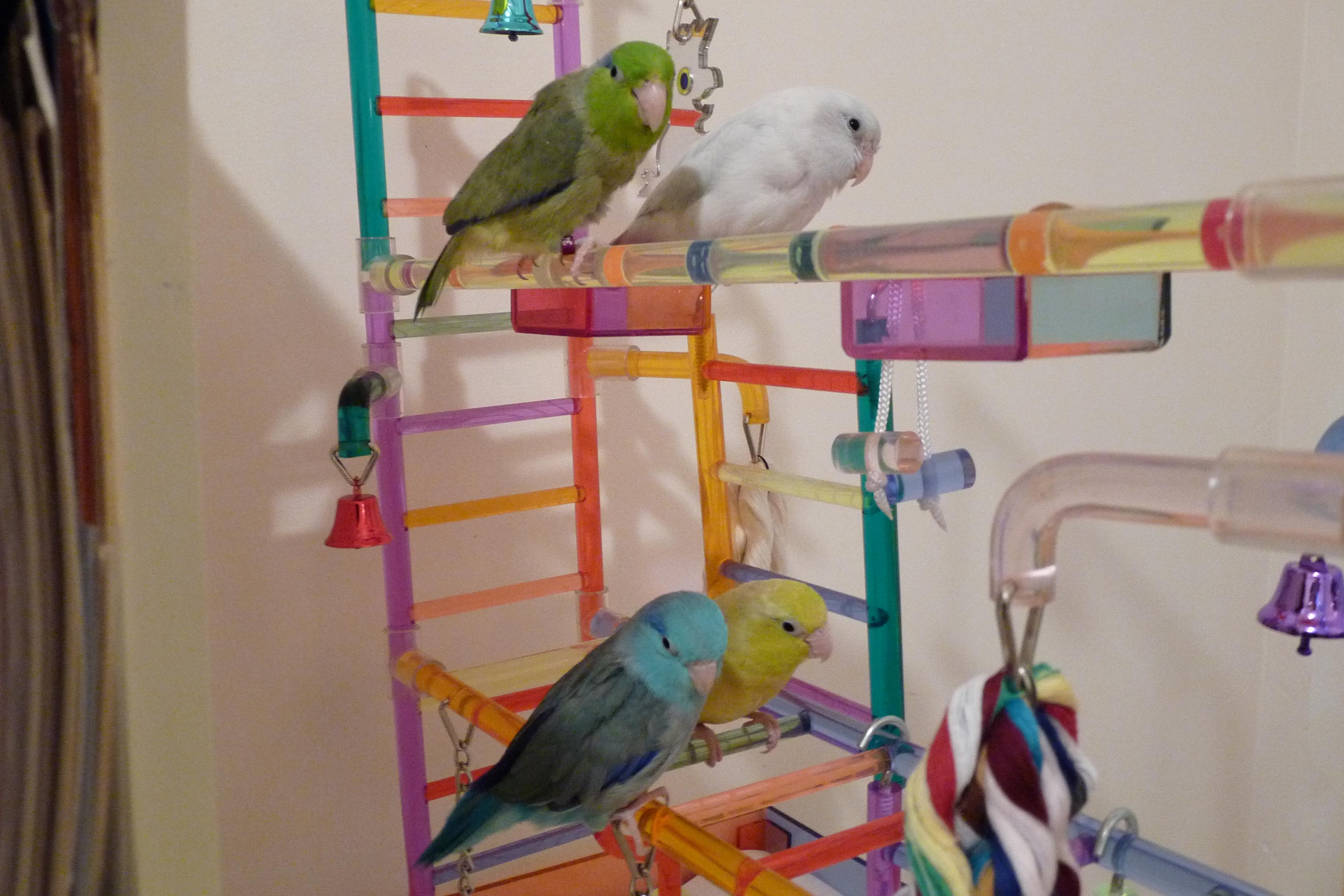 My Four Parrotlets