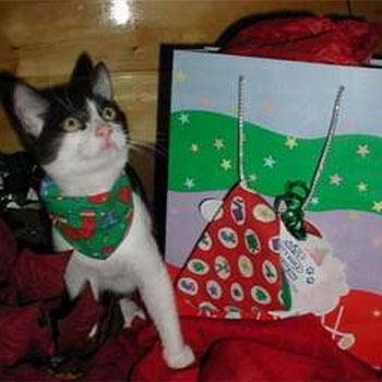 Eloise, a black and white cat, wearing a Christmas scarf standing next to gift bags.
