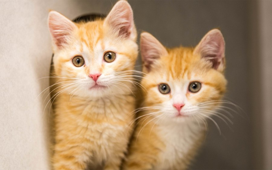 Two orange kittens.