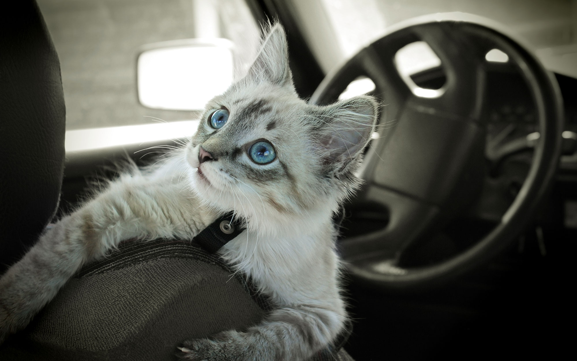 A white tabby kitten with blue eyes riding inside of a car