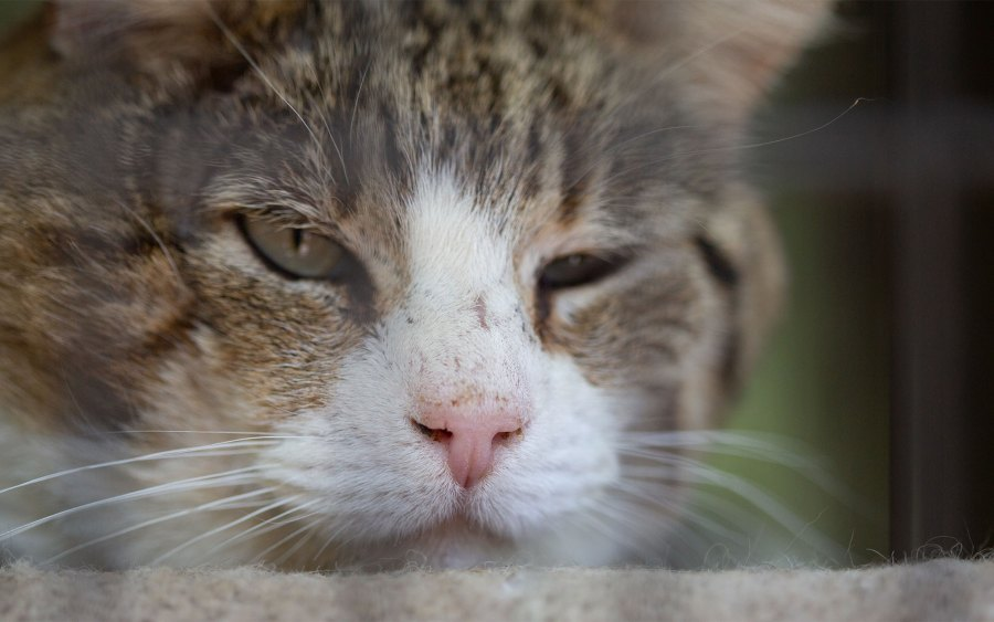 A tabby and white cat.