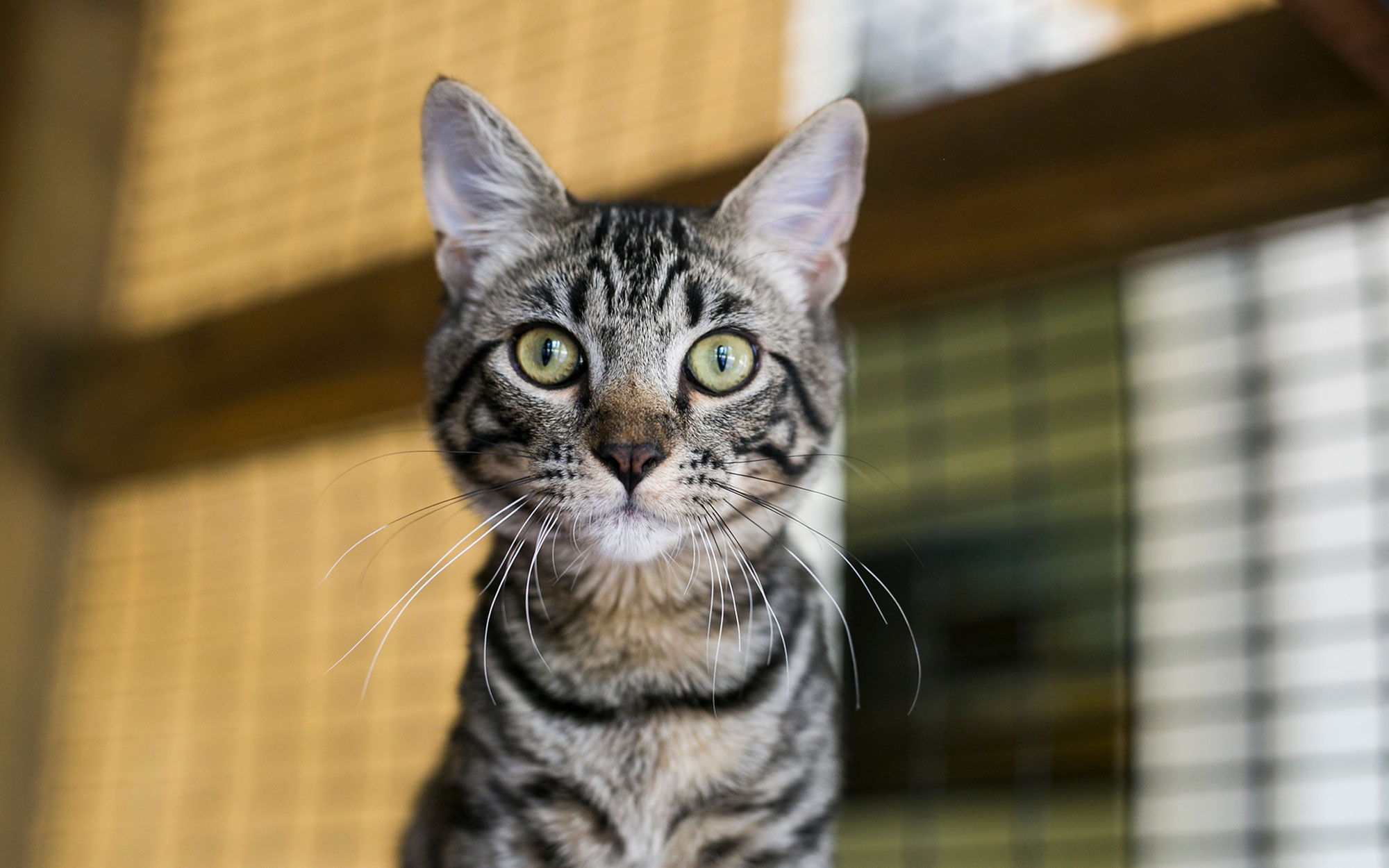 A tabby kitten looking directly at the camera