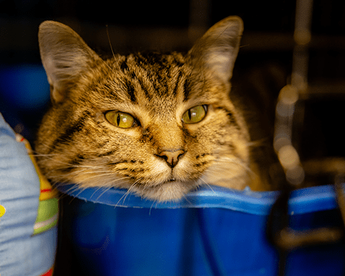 A tabby cat sitting in a blue bin.