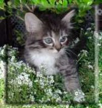 A fluffy grey and white tabby kitten.