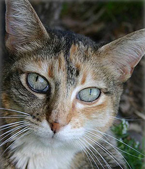 A calico cat with green eyes.