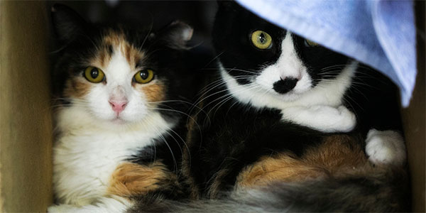 A calico and a tuxedo pair of feral cats.