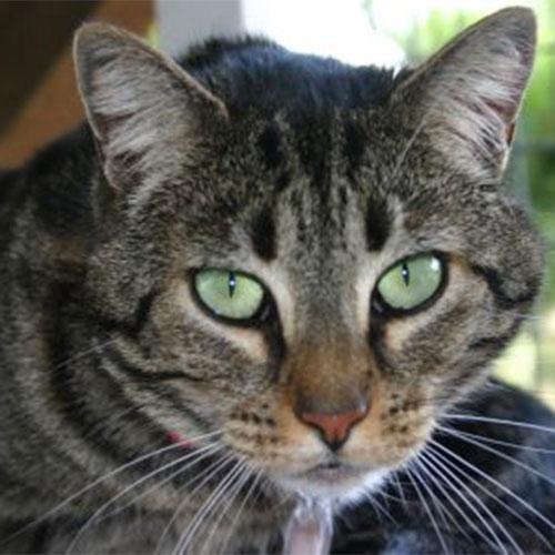 Ava, a tabby cat