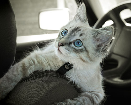 A white kitten inside of a car.