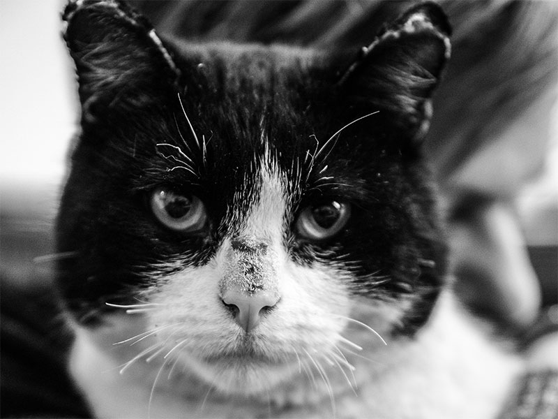 A black and white cat recovered from the Camp Fire.