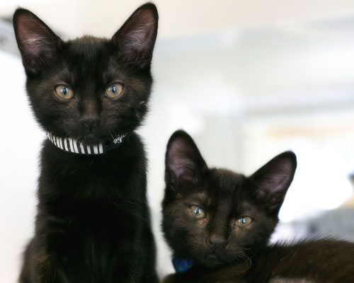 Two black kittens.