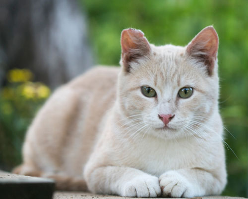 A white and cream colored cat.
