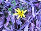 Yam daisy flower
