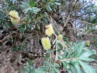 Banksia marginata flowers