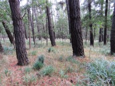 Pines with native understory