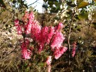 Epacris impressa - Common Heath