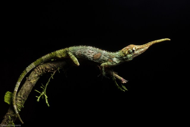 pinocchio_lizard