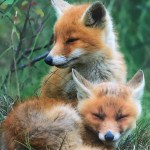 The Fox Diary Part One
