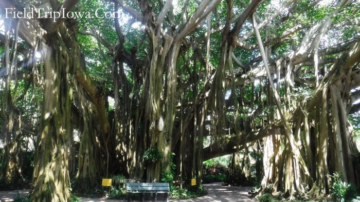 Huge Banyan Tree in Cypress Garden's at Legoland Theme Park in Florida..