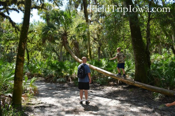 A boy walks up a log while his dad watches at Myakka River State Park in Florida.