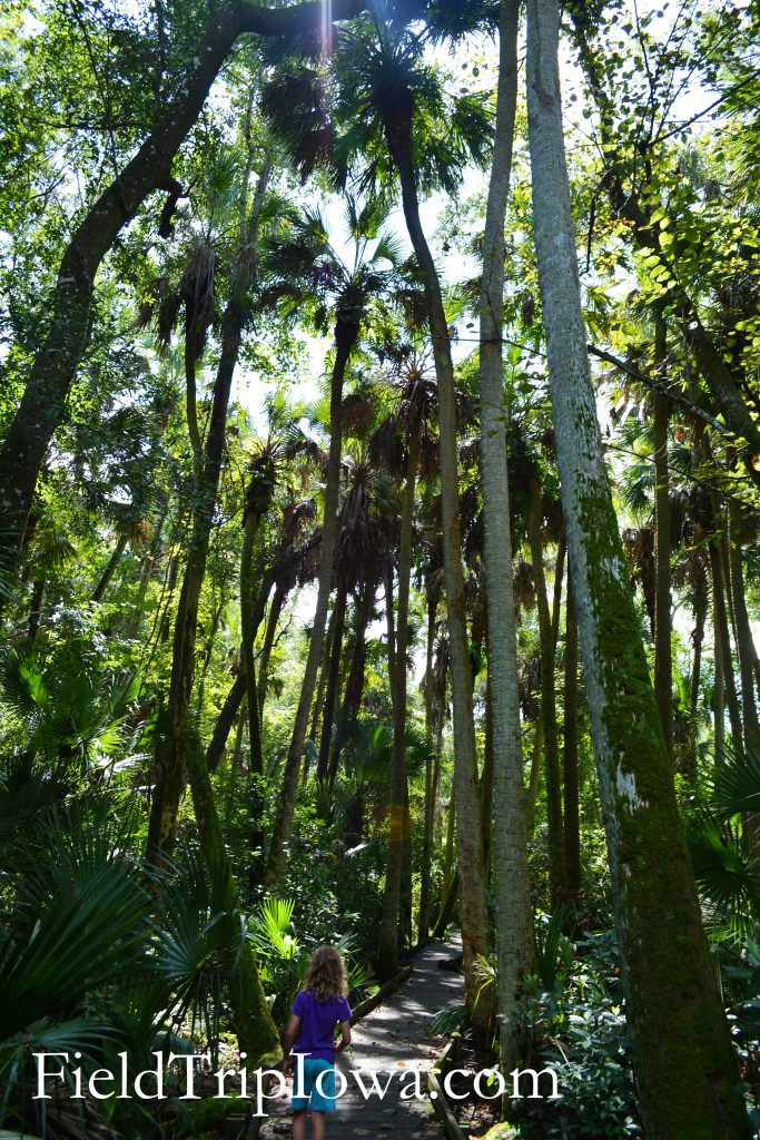 Tall Palm trees on Ocala National Forest Alexander Springs Timucuan Indian Nature Trail