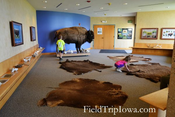 Bison skin and bones that can be touched in the Visitor Center at Neal Smith National Wildlife Refuge